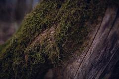 Moss on the tree closeup