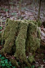 Moss on the stump
