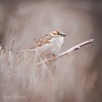 house sparrow (female) / vrabec domácí (samice) / passer domesticus, CZE, 2018
