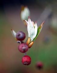 New leaves, Aronia arbutifolia 'Brilliantissima' (red chokecherry)
