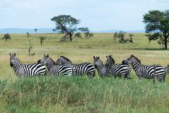 Line of Zebra on the Plains