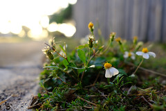 Closeup photo of beautiful flowering weeds growing next to sidewalk backlit by glowing sunset