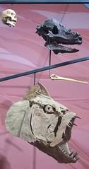 Human, Pachycephalosaurus, and  Xiphactinus skulls, Museum of Ancient Life  8/17/2045