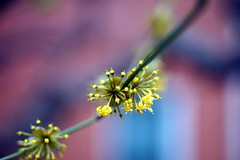 Cornus mas (cornelian cherry dogwood, European cornel)