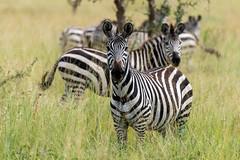 Zebra Standing in Tall Grass