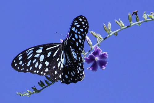 Blue Tiger Butterfly 014