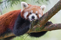 Cute red panda on the branch