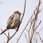 house sparrow (male) / vrabec domácí (samec) / passer domesticus, CZE, 2020