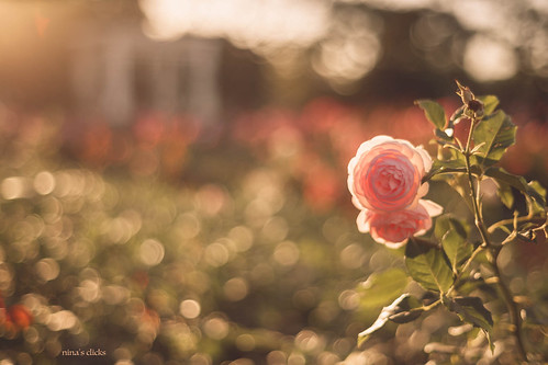 Some roses and sunshine for you