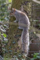 Grey Squirrel posing