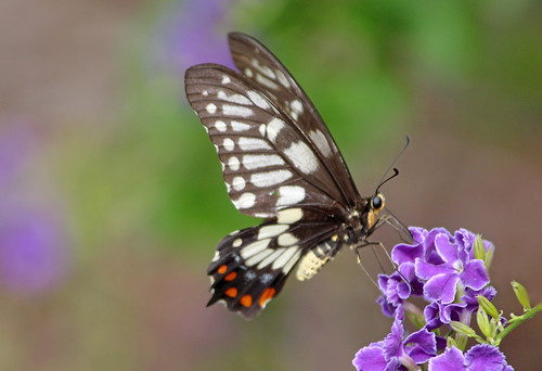 Dainty Swallowtail 005
