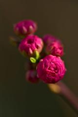 Almond Blossom