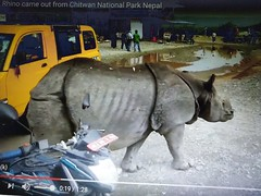 These rhinos are totally wild but seem quite unmindful of humans