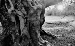 If this old tree could tell ..