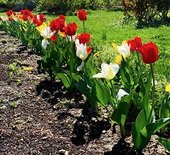 Tulip Divide
