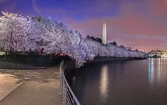 Cherry Blossom Pano, Tidal Basin DC