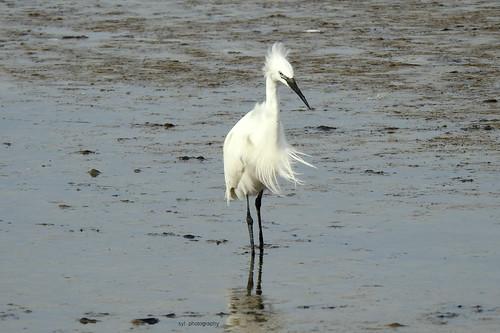 Les Aigrettes du Parc Ornithologique du Teich
