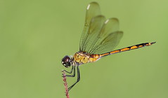 Four-spotted Pennant (female)- Holiday Rec Complex
