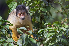 Squirrel monkey in the tree