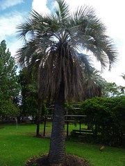 Adelaide. In the gardens of Burnside Hospital. The Jelly Palm from South America. Planted before 1945.  Butia capitata.