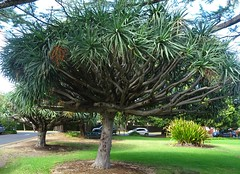 Adelaide. In the gardens of Burnside Hospital. The Dragon tree. An unusual palm tree from the Canary Island. Dracaena draco.