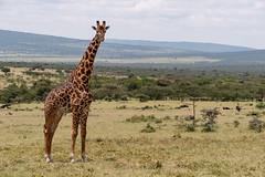 Giraffe Standing in Open Landscape