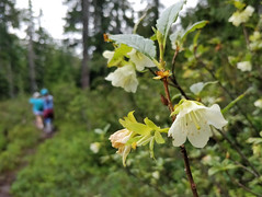 White-flowered rhododendron in Callaghan Valley