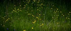 Sunol Valley Spring Wild Flowers