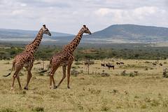 Two Giraffe Walking by Hills