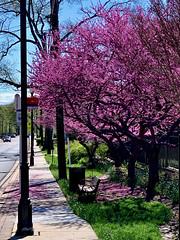 Riversdale Redbuds