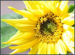 First Sunflower 2020