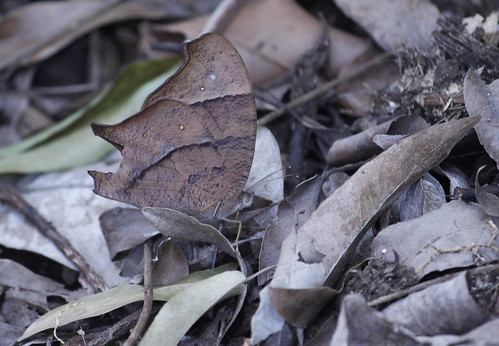 Evening Brown Butterfly 002