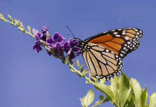 Monarch Butterfly 009