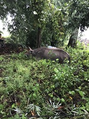 After breakfast our hotel guard took me back to the wild Rhinos behind my hotel room