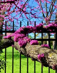Redbuds Blooming