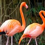 Roter Flamingo   /   American Flamingo