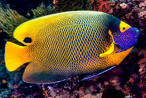 Yellow-mask Angelfish - Pomacanthus xanthometopon