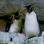 Nördlicher Felsen-Pinguin / Northern Rockhopper Penguin