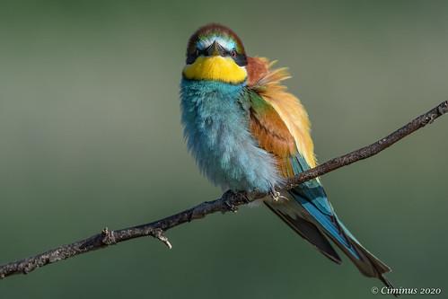European bee-eater front portrait (Merops apiaster).