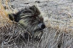 Neighborhood Porcupine