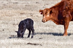 Calf with Umbilical Cord
