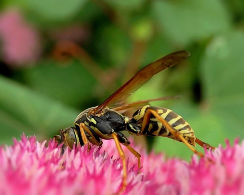 Paper Wasp (Explored)