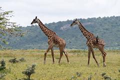 Two Giraffe Approaching a Tree