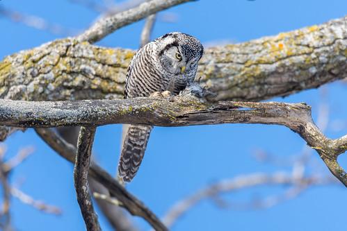 Northern hawk-owl (Chouette épervière)