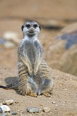 Meerkat sitting