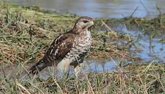 Red-shouldered Hawk (immature)- Veteran's Memorial park