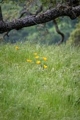 California Poppies in Green Grass