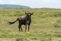 Wildebeest with Tail Streaming in the Wind
