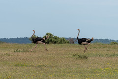 Two Ostrich Running