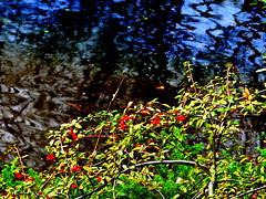 Fountaun Border, Scarlet Firethorn